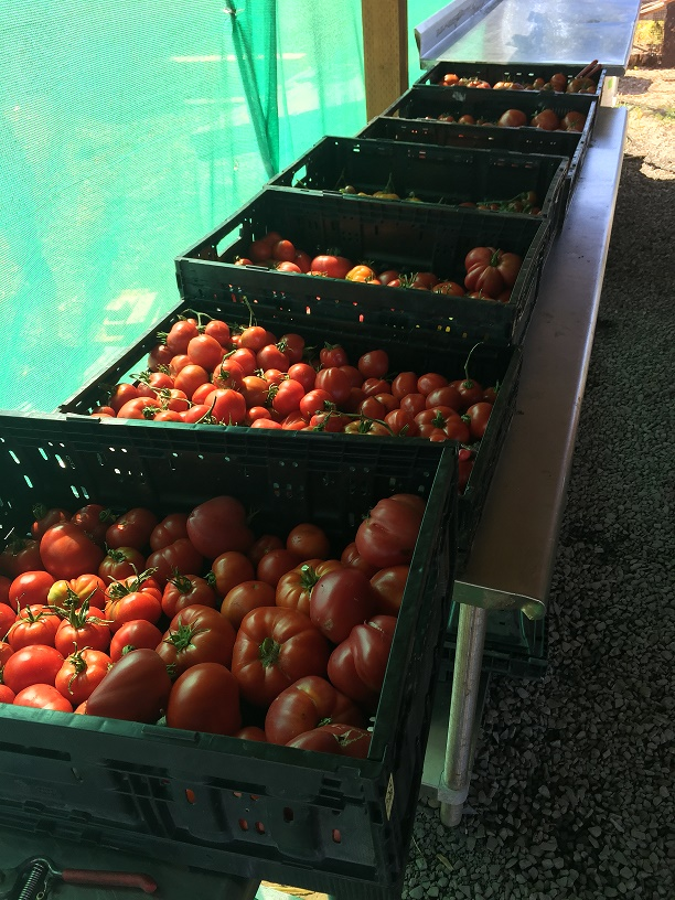 3rd Quarter 2017 - Oregon Food Bank - September 1st Tomatoes